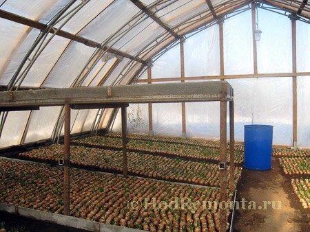 Как зарабатывать на выращивании лука 651